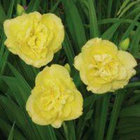 2343_7203_Hemerocallis_Yellow_Submarine_Photo_Darwinplants.jpg