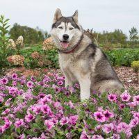 3028_6397_Petunia_cultivars_AlpeTunia_Pink_Vein_.jpg