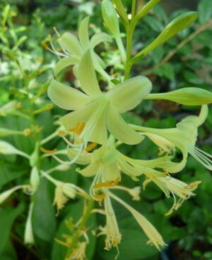 3065_7111_Hosta_Miracle_LemonyPhoto_Darwinplants.jpg