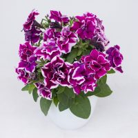 3666_10842_Marisco_Bally_Lilac_PF.jpg