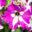 petuunia `Marisco Recife Raspberry Cream` (2)