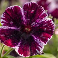 petuunia `Sweetunia Miss Marvelous` (2)