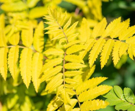Sorbus aucuparia `Dirkenii` harilik pihlakas (2)