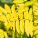 Sorbus aucuparia `Dirkenii` harilik pihlakas (3)