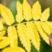 Sorbus aucuparia `Dirkenii` harilik pihlakas