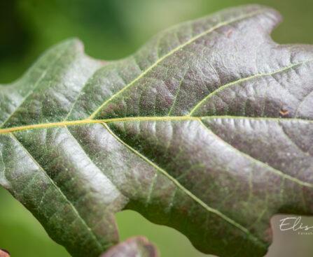 Quercus robur `Timuki` harilik tamm