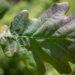 Quercus robur `Timuki` harilik tamm (2)