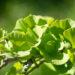 Ginkgo biloba `Globosa` hõlmikpuu (2)