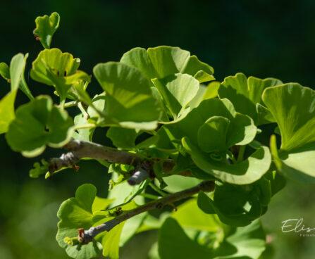 Ginkgo biloba `Globosa` hõlmikpuu