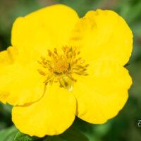 Potentilla fruticosa `Goldstar` põõsasmaran