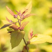 Spiraea japonica `Firelight` jaapani enelas