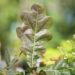 Quercus robur `Timuki` tamm