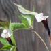 Arisaema sikokianum shikoku tulivõhk (2)