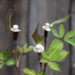 Arisaema sikokianum shikoku tulivõhk (3)