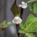 Arisaema sikokianum shikoku tulivõhk (4)