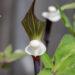 Arisaema sikokianum shikoku tulivõhk (5)