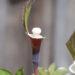 Arisaema sikokianum shikoku tulivõhk (6)