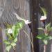 Arisaema sikokianum shikoku tulivõhk
