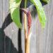Arisaema costatum sikkimi tulivõhk (2)