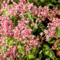 Heucherella `Pink Revolution` pisipööris