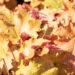 Heuchera `Marmalade` helmikpööris