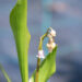 Convallaria majalis `Rosea` maikelluke (2)