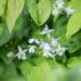 Epimedium youngianum `Niveum` kütkestav epimeedium