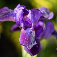 Iris pumila `Little Shadow` iiris