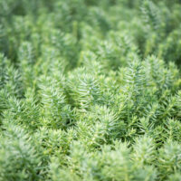 Sedum reflexum `Blue Spruce` kalju-kukehari