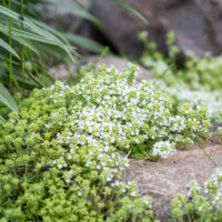 Thymus serpyllum `Albus` nõmmliivatee