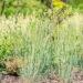 Koeleria glauca `Coolio` haguhein (2)