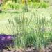 Koeleria glauca `Coolio` haguhein (3)