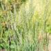 Koeleria glauca `Coolio` haguhein