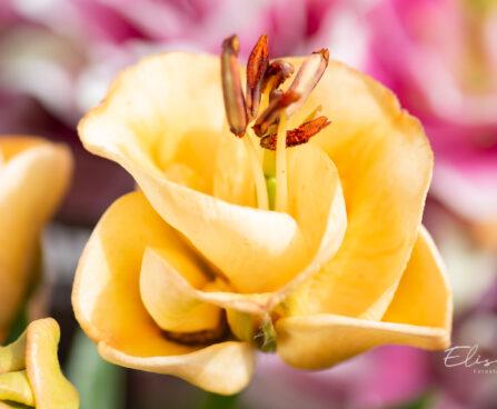 Lilium aciatic hybrids `Apricot Fudge` liilia (2)