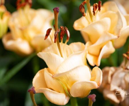 Lilium aciatic hybrids `Apricot Fudge` liilia (1)