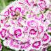 Dianthus barbatus habenelk