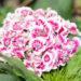 Dianthus barbatus habenelk (2)