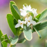 Daphne caucasica `Summer Ice` kaukaasia näsiniin (1)