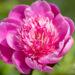 Paeonia lactiflora `Belleville` pojeng