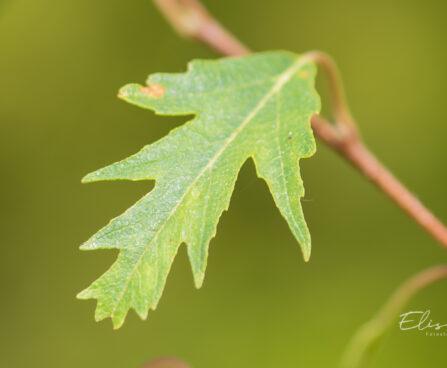 Betula pendula `Crispa` arukask