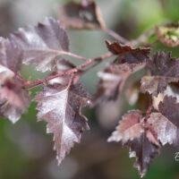 Betula `Crimson Frost` kask