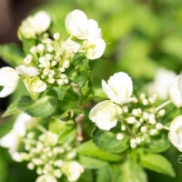 Hydrangea `Runaway Bride` hortensia