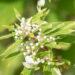 Hydrangea paniculata `Shikoku Flash` aed-hortensia (2)