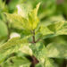 Hydrangea paniculata `Shikoku Flash` aed-hortensia (4)