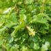 Quercus palustris `Green Dwarf` sootamm (1)