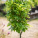 Quercus palustris `Green Dwarf` sootamm (2)