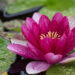 452_6718_Nymphaea_Attraction_.JPG