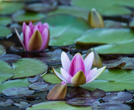 452_6792_Nymphaea_Attraction_.JPG
