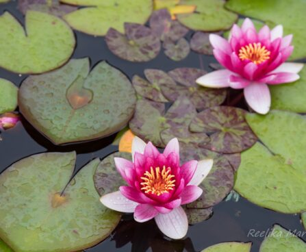 452_7468_Nymphaea_Attraction_.JPG