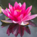 452_9101_Nymphaea_Attraction_.JPG
